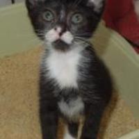 Adopt A Pet :: Satu 1 - Long Beach, CA