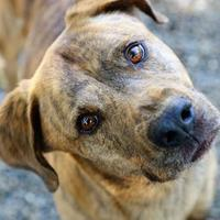 Adopt A Pet :: Louis - Pasco, WA