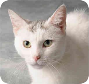 Turkish Van Cat for adoption in Chicago, Illinois - Luna
