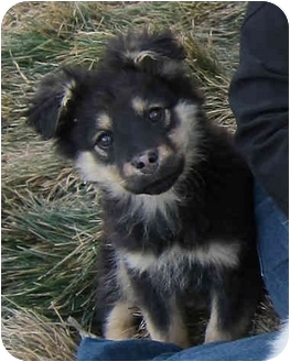 Shepherd (Unknown Type)/German Shepherd Dog Mix Puppy for adoption in Broomfield, Colorado - Lacey