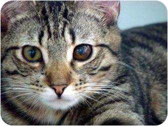 Domestic Shorthair Cat for adoption in Florence, Oregon - Randal