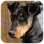 Photo 3 - Doberman Pinscher Dog for adoption in Westport, Connecticut - *Alice - PENDING
