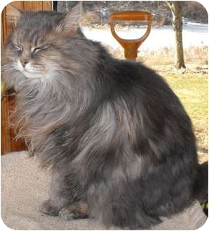 Domestic Longhair Cat for adoption in Byron Center, Michigan - Agnes