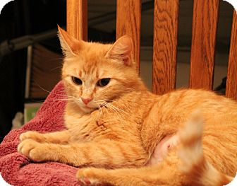 Domestic Shorthair Cat for adoption in Modesto, California - Squeekers