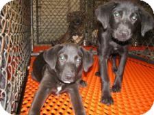 Retriever (Unknown Type) Mix Puppy for adoption in Largo, Florida - Louie