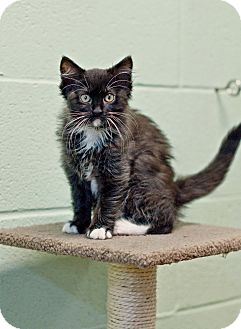 Domestic Mediumhair Kitten for adoption in Carencro, Louisiana - Chloe