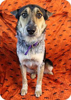Australian Cattle Dog/Blue Heeler Mix Dog for adoption in Westminster, Colorado - Bounce