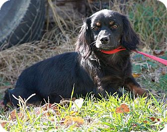 Cavalier King Charles Spaniel/Dachshund Mix Dog for adoption in Windham, New Hampshire - Boots