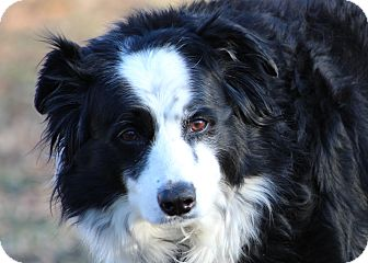 Border Collie Dog for adoption in Prince Frederick, Maryland - Molly
