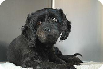Shih Tzu/Lhasa Apso Mix Dog for adoption in Seneca, South Carolina - Bebe $125