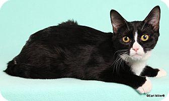 Domestic Mediumhair Kitten for adoption in Las Vegas, Nevada - Astro