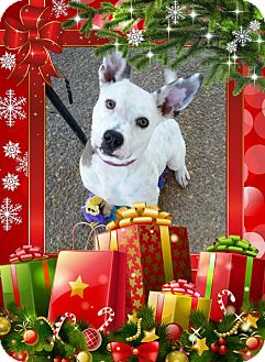 Jack Russell Terrier/Australian Cattle Dog Mix Dog for adoption in Hartsville, Tennessee - Genevieve
