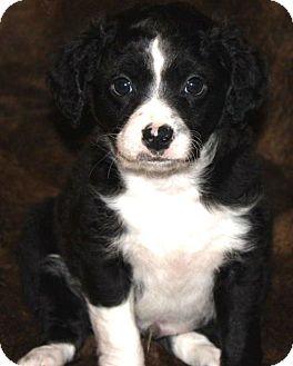 Cocker Spaniel/Golden Retriever Mix Puppy for adoption in La Habra Heights, California - Wiggles