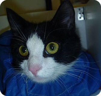 Domestic Shorthair Cat for adoption in Hamburg, New York - Tiny