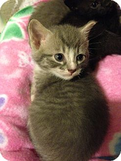 Domestic Shorthair Kitten for adoption in Bentonville, Arkansas - Tabitha