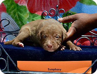 Boxer/Labrador Retriever Mix Puppy for adoption in fredericksburg, Virginia - Symphony-  pending