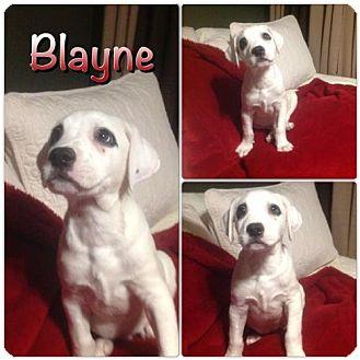 Labrador Retriever/German Shorthaired Pointer Mix Puppy for adoption in Von Ormy, Texas - Blayne