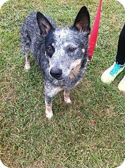 Australian Cattle Dog Dog for adoption in Laplace, Louisiana - Possum