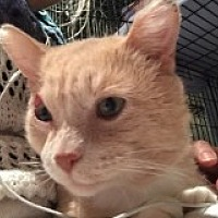 Domestic Shorthair Cat for adoption in Livonia, Michigan - Sabastian
