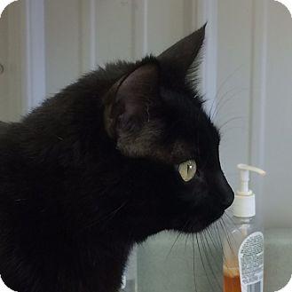 Domestic Shorthair Cat for adoption in Buffalo, Wyoming - Raisin