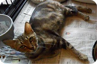 Domestic Shorthair Cat for adoption in San Antonio, Texas - Bonnie