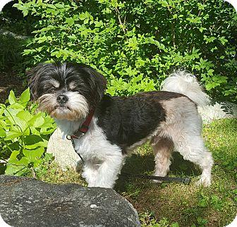 Shih Tzu/Bichon Frise Mix Dog for adoption in West Boylston, Massachusetts - Pockets- Pending Adoption