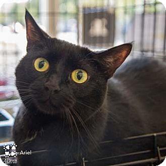 Domestic Shorthair Cat for adoption in Merrifield, Virginia - Ariel