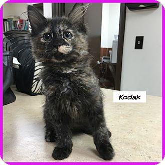 Domestic Mediumhair Cat for adoption in Miami, Florida - Kodak