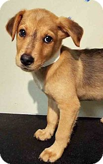 Sheltie, Shetland Sheepdog Mix Puppy for adoption in Hinsdale, Illinois - ADOPTED!!!   Nance