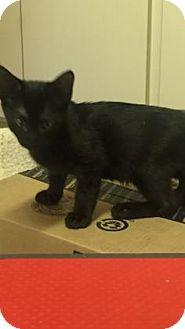 Domestic Shorthair Kitten for adoption in Fountain Hills, Arizona - TOBY