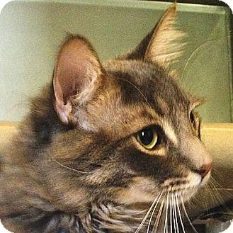 Maine Coon Cat for adoption in Port Angeles, Washington - Reggie