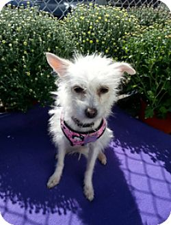 Terrier (Unknown Type, Small) Mix Dog for adoption in Detroit, Michigan - Frita-Adopted!