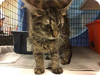 Domestic Longhair Kitten for adoption in Janesville, Wisconsin - Hermione