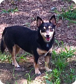 Dachshund/Miniature Pinscher Mix Dog for adoption in Pewaukee, Wisconsin - Fifi-sweetest girl in world