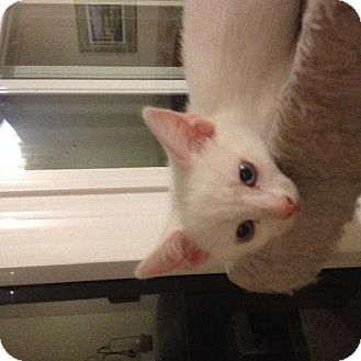 Domestic Shorthair Kitten for adoption in Vacaville, California - Opal