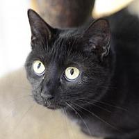Domestic Shorthair Cat for adoption in Atlanta, Georgia - Jett 141601