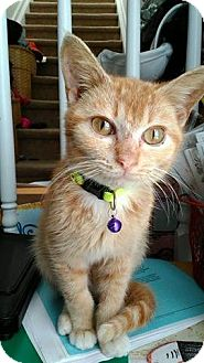 Domestic Shorthair Kitten for adoption in Ludowici, Georgia - Paddy