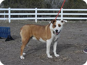 Australian Shepherd/Catahoula Leopard Dog Mix Dog for adoption in Ridgway, Colorado - Ace