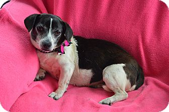 Rat Terrier/Parson Russell Terrier Mix Dog for adoption in Westport, Connecticut - Daisy