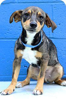 Shepherd (Unknown Type)/Greyhound Mix Puppy for adoption in Waldorf, Maryland - Dusty