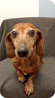Dachshund Dog for adoption in Weston, Florida - Herbert