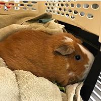 Adopt A Pet :: *Urgent* Ginger - Fullerton, CA