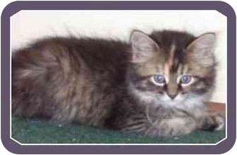 Domestic Mediumhair Kitten for adoption in Sterling Heights, Michigan - Harley - ADOPTED!