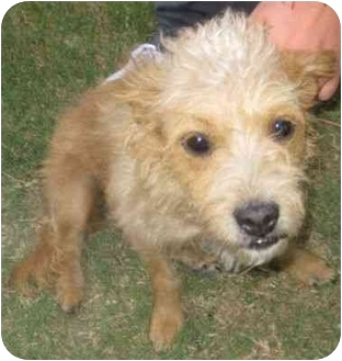 Terrier (Unknown Type, Small) Mix Dog for adoption in Riverside, California - Molly