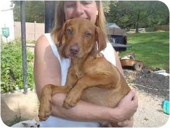 Labrador Retriever Mix Puppy for adoption in Bel Air, Maryland - Jack