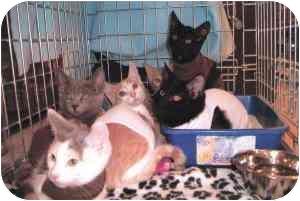 Domestic Shorthair Kitten for adoption in Yorba Linda, California - Kittens waiting for homes