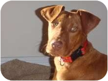 Vizsla Mix Dog for adoption in Portland, Maine - Banks (I'm in New England!)
