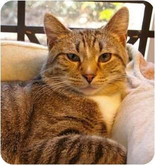 American Shorthair Cat for adoption in Merrifield, Virginia - Pizza