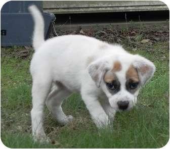Labrador Retriever Mix Puppy for adoption in Staunton, Virginia - Daisy Doodle