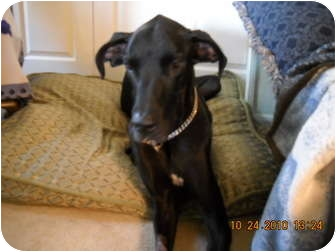 Great Dane Dog for adoption in Phoenix, Arizona - Gabriel/Gabe 5/2013